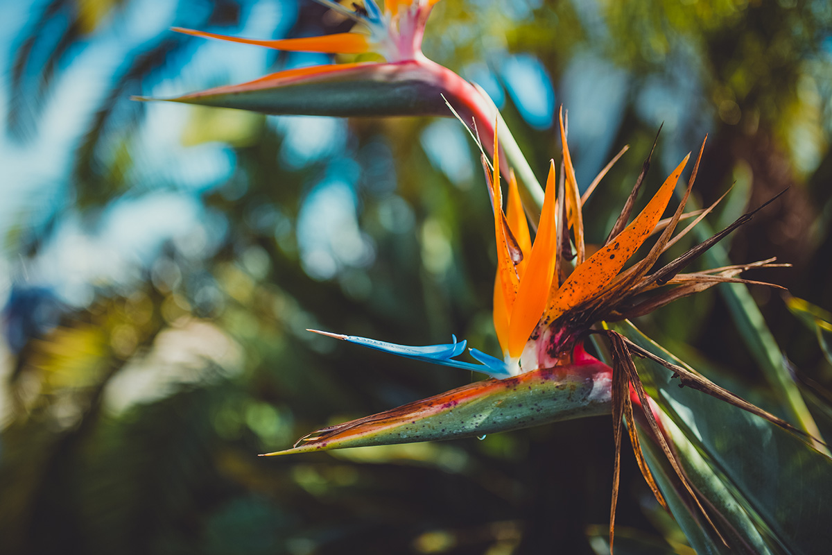 California Santa Barbara bird of paradise flower