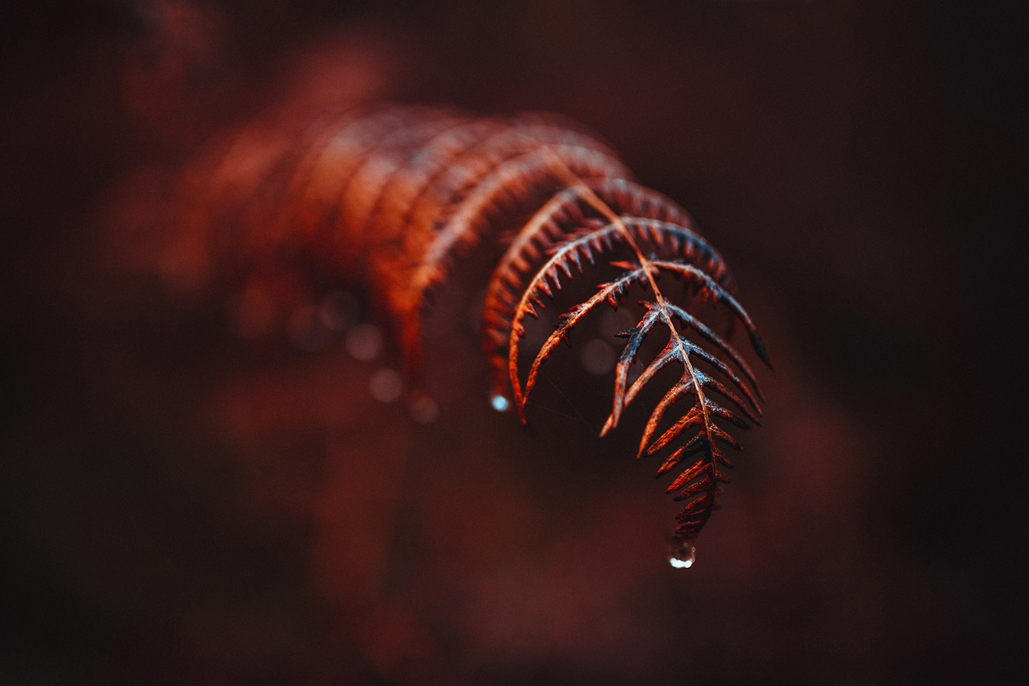 Scarlet, red ferns with frozen dewdrops