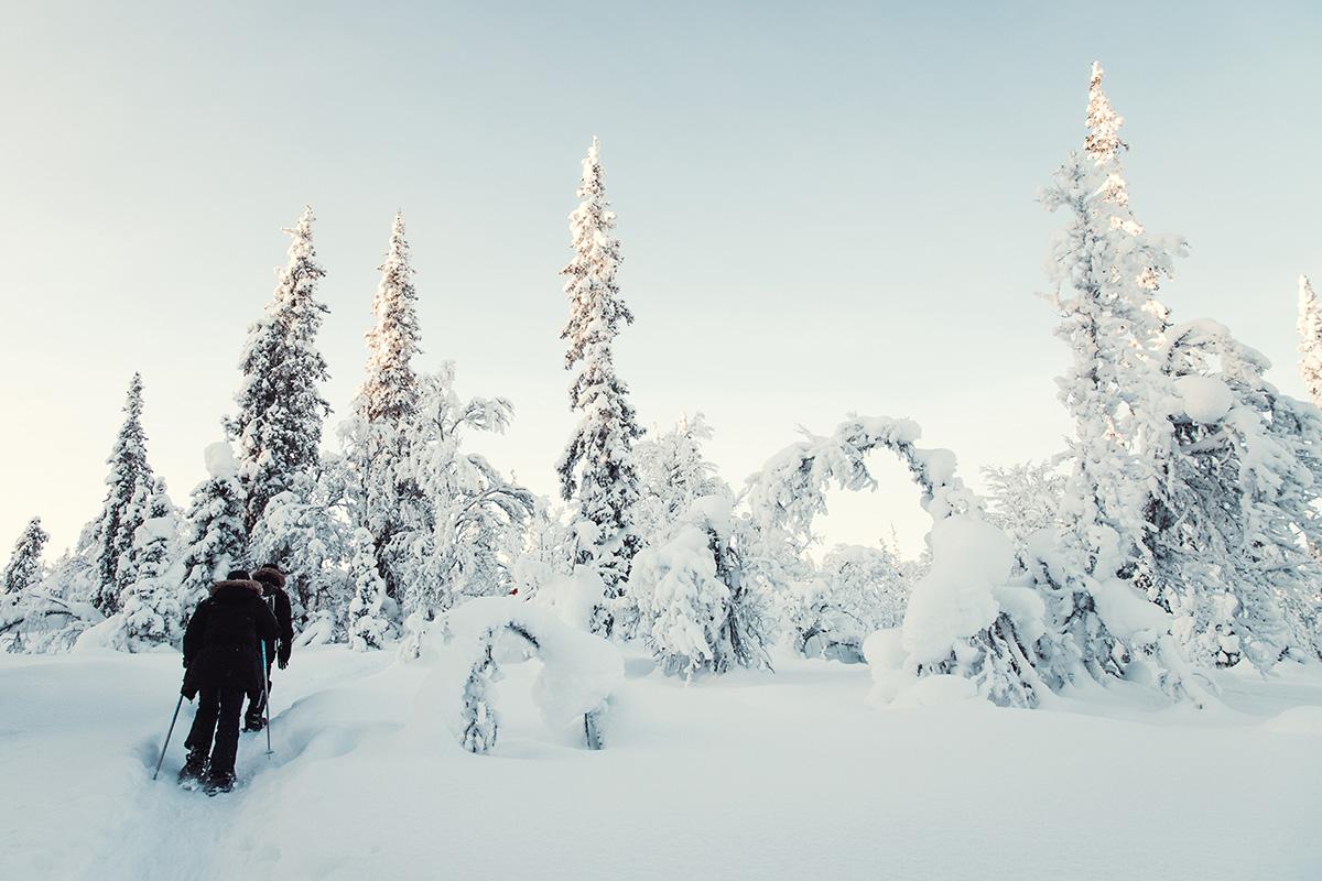 Lapland Candelabre boreal forest Raphaelle Monvoisin