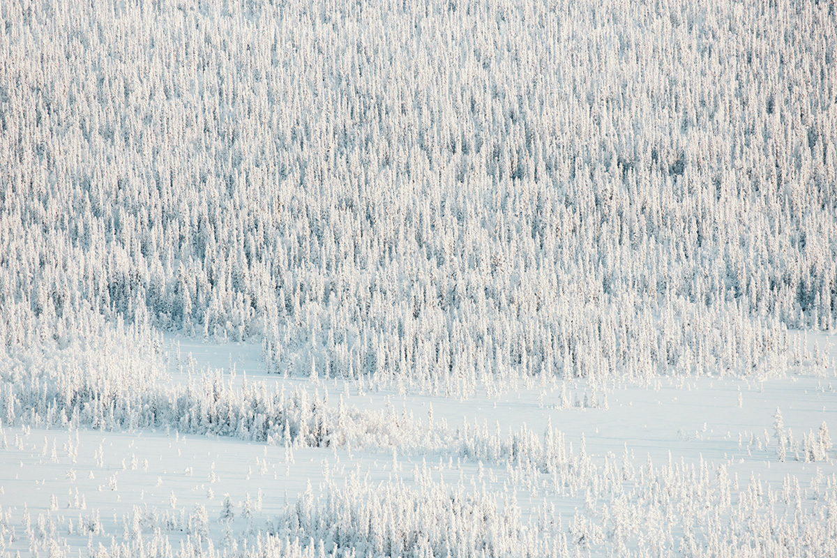 Lapland Candelabre boreal forest pinetrees Raphaelle Monvoisin