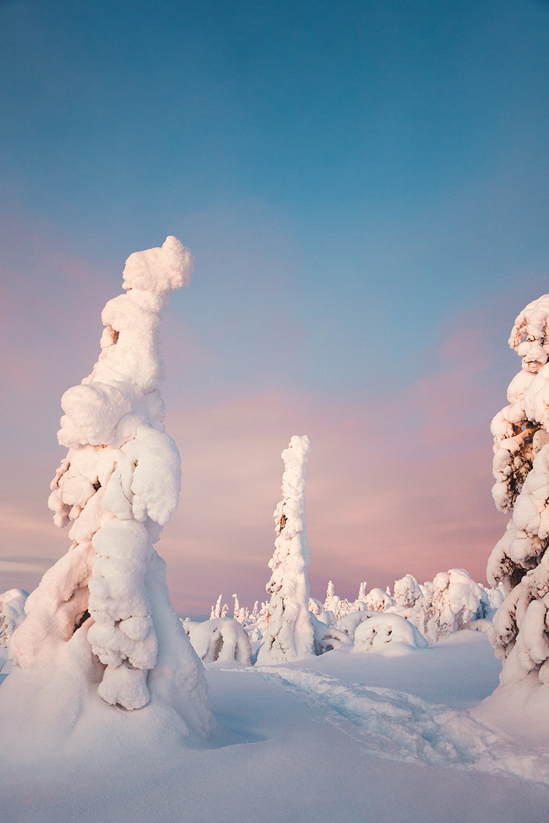 Lapland boreal arctic pinetrees Raphaelle Monvoisin