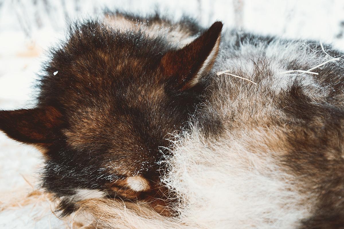 Husky dog sleddog Lapland Raphaelle Monvoisin