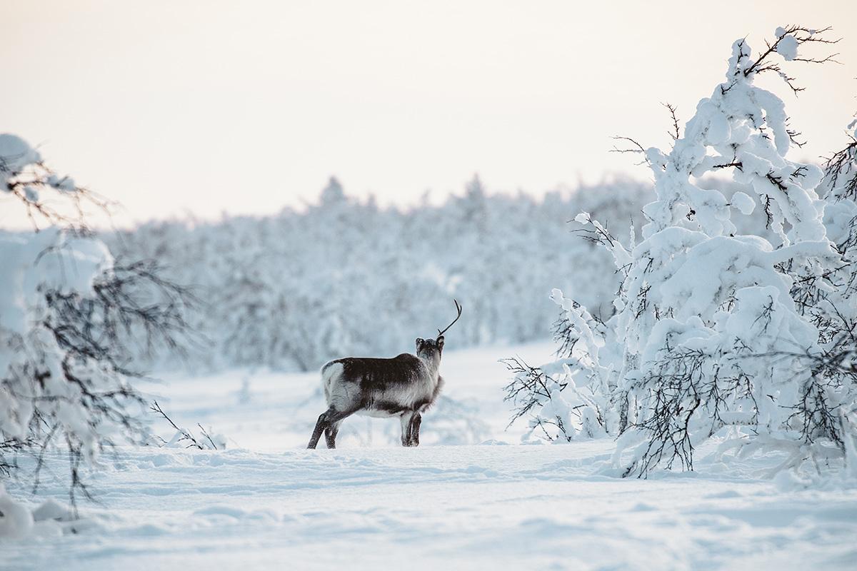 Lapland taiga reindeers wildlife Raphaelle Monvoisin