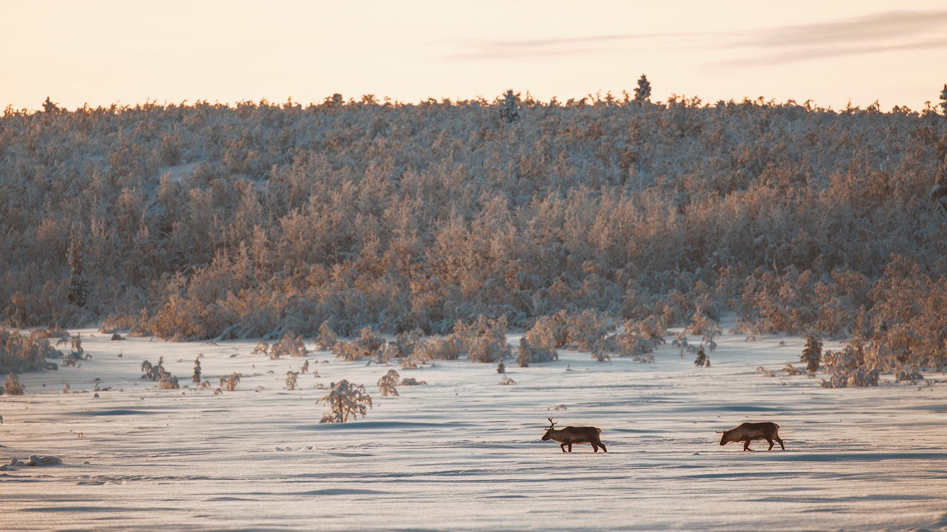 Lapland taiga sunrise reindeers wildlife Raphaelle Monvoisin