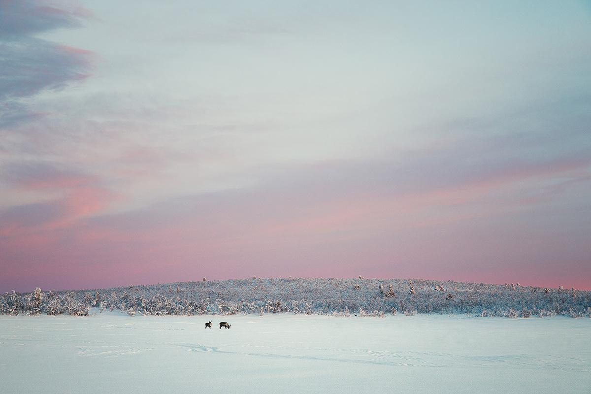 Reindeers frozen lake Lapland Raphaelle Monvoisin