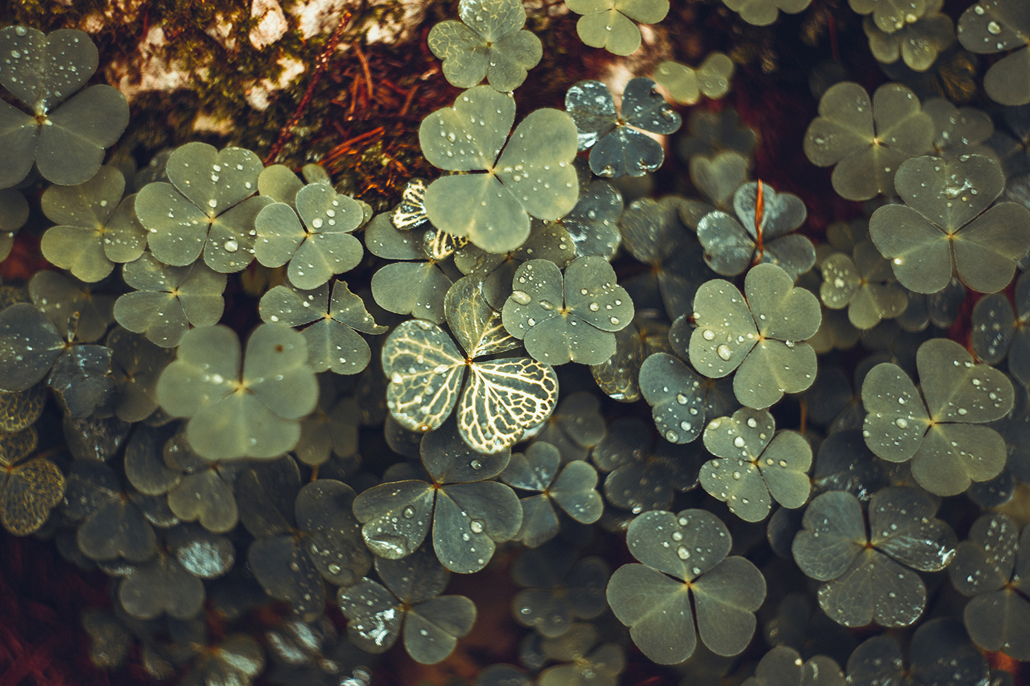Shamrock, clover, nature, plant, rain, forest, wood, botanical, dewdrop