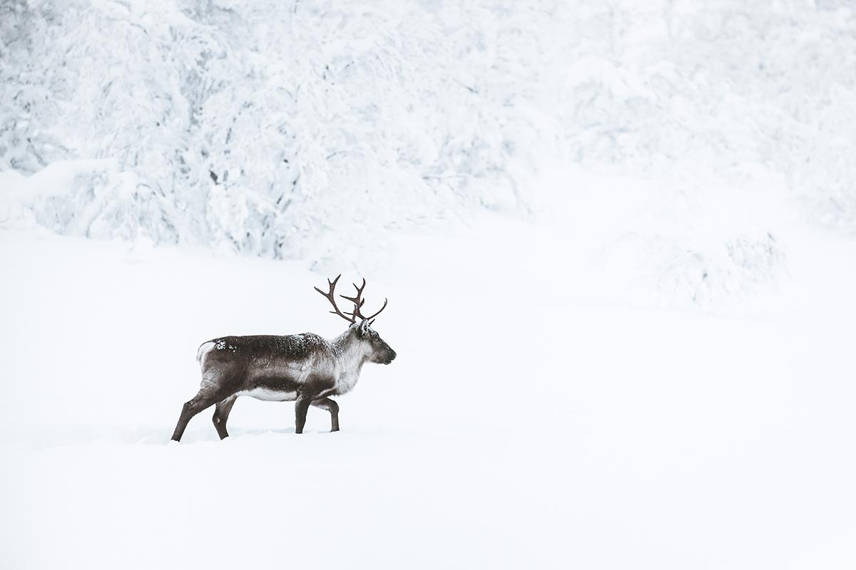 Lapland reindeer monochromatic Raphaelle Monvoisin
