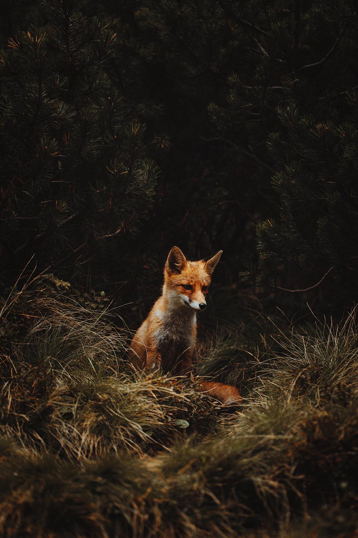 Raphaelle Monvoisin fox forest zakopane poland